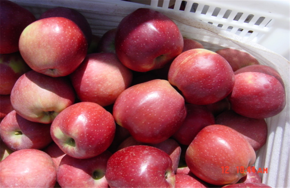 Premium Export Quality Qinguan Apples