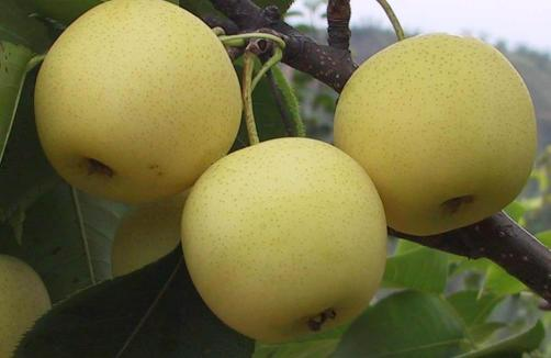 Golden Pear On Trees