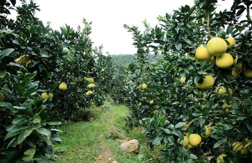 Honey Pomelo Farm