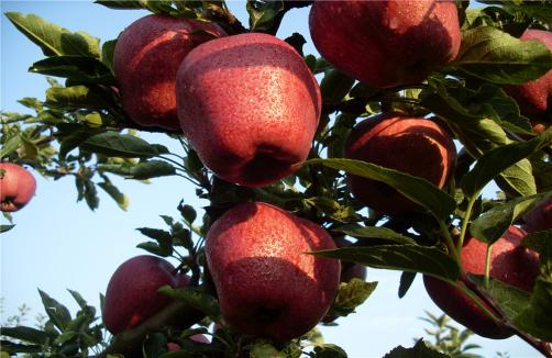 Red Delicious Apples On Trees