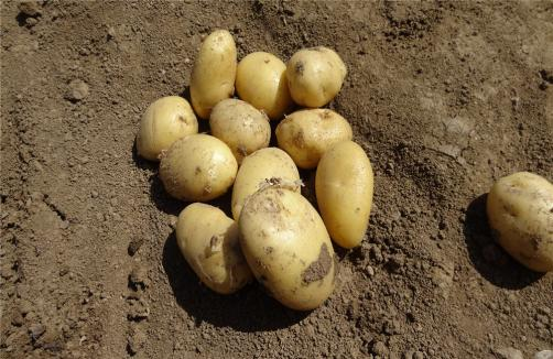 Fresh Potato Out Of Earth